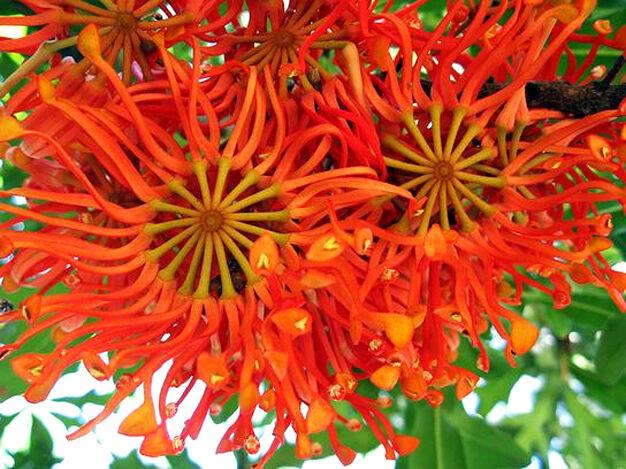 Firewheel Tree (Stenocarpus sinuatis) - 30 Fresh Seeds