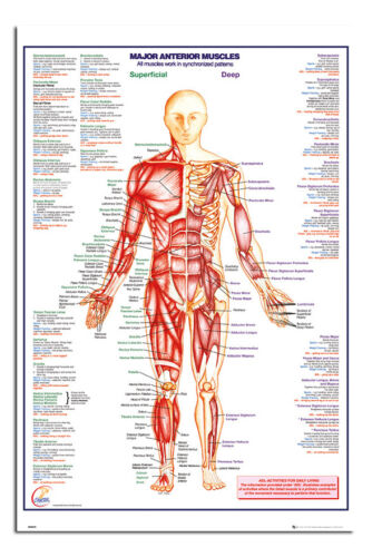Human Body Major Anterior Muscles Poster New Maxi Size 36 x 24 Inch