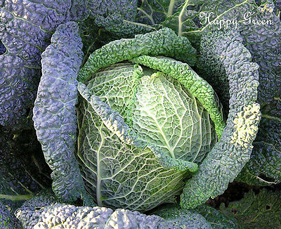 1100 SEEDS Brassica o.s - Late variety ITALIAN SAVOY CABBAGE VEGETABLE