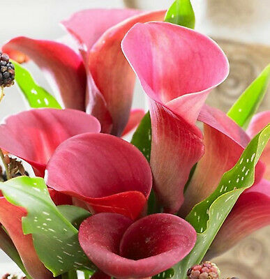 Red Anthurium Andraeanu Seeds 100 Seeds -BUY 4 ITEMS FREE SHIPPING