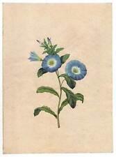 Aquarell nach Redoute um 1850 - Botanik-Blume-Pflanzen