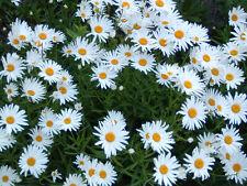 Magerwiesen Wiesen Margerite 500 Samen Chrysantheme Wiesenmargerite