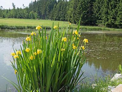 Garten Blumen Samen Rarität seltene Pflanzen schnellwüchsig ECHTER EUKALYPTUS