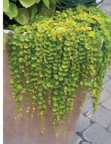 25 Multi Pelleted Seeds Dichondra Seeds Emerald Falls Pelleted Seeds