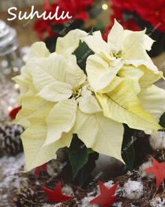 Ggg Aaarare Poinsettia Seeds 10 Kinds 100 Mix Colors Flower Seeds