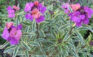 Erysimum-Seeds-Linifolium-Flower-Seeds-PERENNIAL-wall-flower-250-seeds