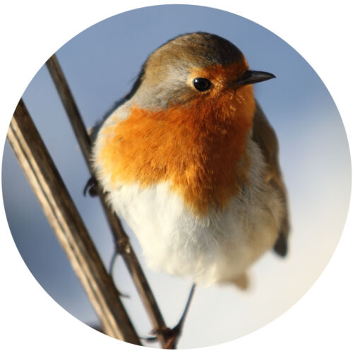 Brand New Permit Tax Disc Holder REUSABLE Pretty Red Robin Bird