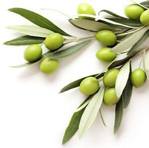 Coratina-Olea-europaea-Olive-Tree-Live-Plant-food-garden-drought-tolerant