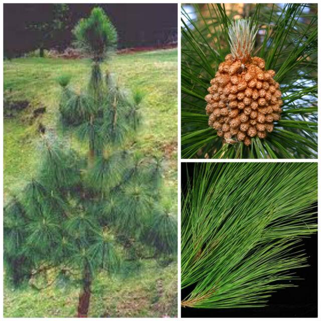 Cacti Succulents Pinus Wallichiana Pino Del Bhutan Bonsai Seeds R 10 Seeds Of Pino Excelsa Garden Patio Carrievilas Com