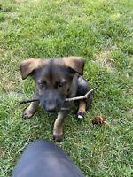 German Shepherd Puppies Kijiji In British Columbia Buy Sell