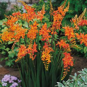 12 x Crocosmia MASONORUM  Perennial SUMMER FLOWER Montbretia Plant BULBS