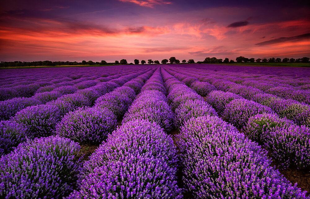 Fototapete Lavendelfeld Lavendel - Kleistertapete oder Selbstklebende Tapete