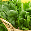 Vegetable allotment Garden Seeds Spinach Giant Winter seeds