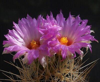 10 Graines De Thelocactus Bicolor - Cactus Seeds - Semillas Vari Stili
