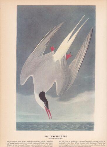"""1942 Vintage AUDUBON BIRDS #250 /""""ARCTIC TERN/"""" AWESOME Color Art Plate Lithograph"""