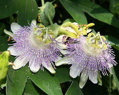 Passiflora gibertii•10 Samen/seeds •Passionsblume•essbare Früchte•Passion Flower