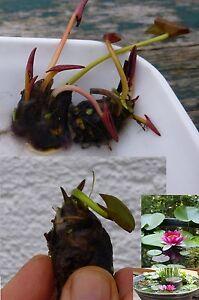 Zwergseerose Rose Arey Bonsai für´s Aquarium / tolles Geschenk Valentinsgesch<wbr/>enk