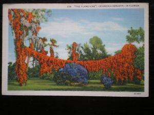 POSTCARD-USA-THE-FLAME-VINE-IN-FLORIDA