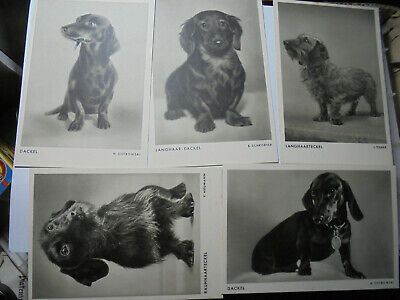 31262 5x Ak Dackel Langhaar Teckel Ungelaufen Wilks Hundekalender 1935 Daxhund Senility VerzöGern