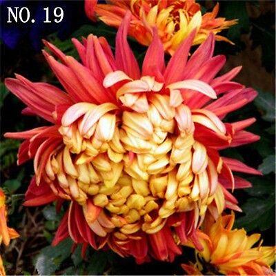 Chrysanthemum seed  countryard balcony decoration 30 seeds NO.19