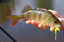 10-x-Bull-Baits-Gummikoeder-Forelle-Barsch-viele-Farben-amp-Aromen-UL-Angeln-Trout Indexbild 8