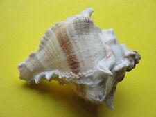 "Sea Shell Seashells 3.6"" Murex Virgineus Shell"