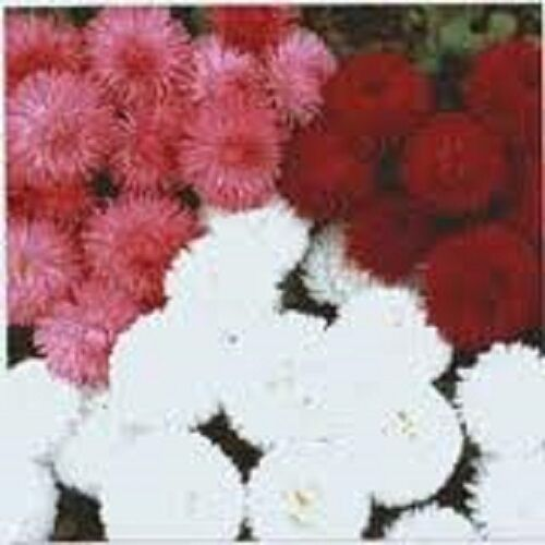 400 graines Bellis-Tapis Rose