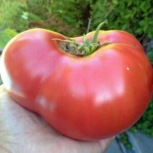 Tomato 'MORTGAGE LIFTER' 15+ Seeds HEIRLOOM summer vegetable