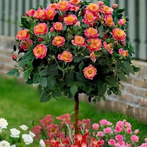 50x orange rose seeds garden flower seeds bonsai tree fragrant plant seedling CP