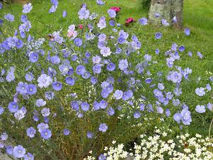 Linum-Perenne-Flax-Appx-1300-seeds-Perennial