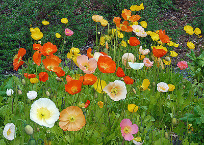 poppy, ICELAND, perennial poppies, flower, 725 SEEDS! GroCo*,