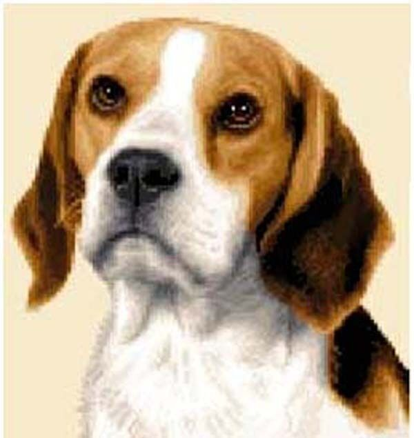 BEAGLE dog - complete counted cross stitch kit * All materials supplied