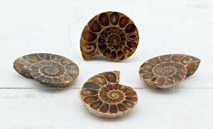 Ammonite-Pair-Gemstone-Fossil