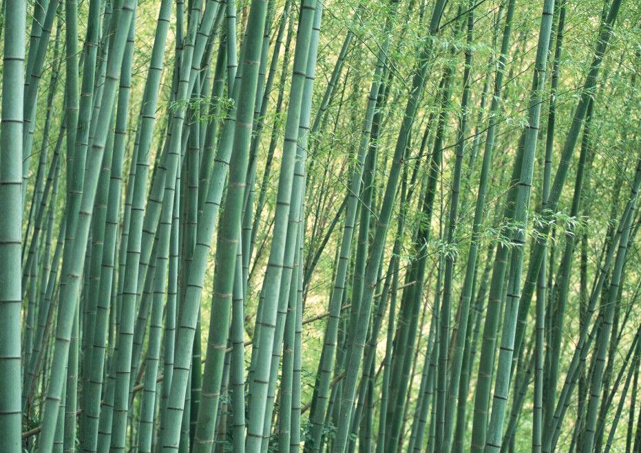 3D Bambus Wald Wald Wald 857 Tapete Wandgemälde Tapete Tapeten Bild Familie DE Summer | Online  | Sofortige Lieferung  |  1ed718