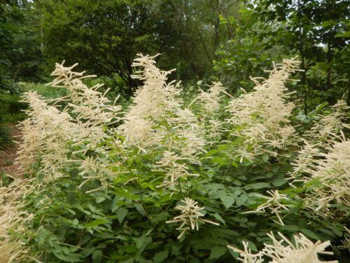 Wald-Geißbart Aruncus dioicus Waldspargel Teepflanze Bienenweide Wald-Geissbart