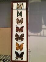 Real framed Butterfly collection - 7 Different Species