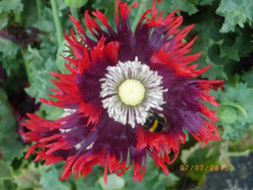 RARE ! 100 Graines 100 Zaden 100 Seeds Poppy Papaver Somniferum DRAMA QUEEN