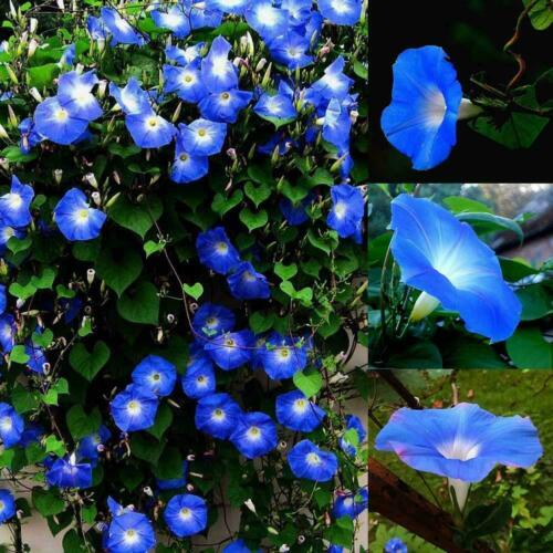 1500 PCs MORNING GLORY Seeds Heavenly Blue ANNUAL FLOWER L4A5