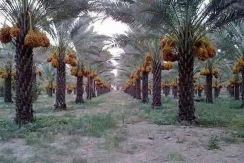 EDIBLE DATE PALM ~Degelet Noor~ Phoenix dactylifera Ancient Egyptian Fruit Tree