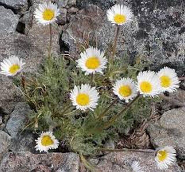 50 Seeds Rocky Erigeron