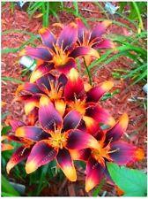 True lily 2 bulbs perfume NGANTUK lily (not lily seeds) bonsai flower bulbs