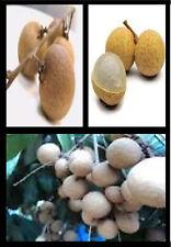 10 Fresh Thai Longan Seeds Great Tasting Tropical Fruiting Plant