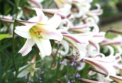 Lilium formosanum var pricei 10 seeds FREE SHIP