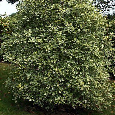 Pittosporum eugenioides Variegatum, Plant in 9cm Pot