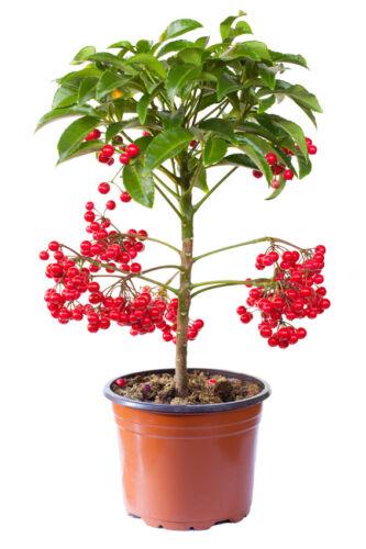 die Spitzblume hat einen schönen roten Beeren-Kranz passend zur Weihnachtszeit.