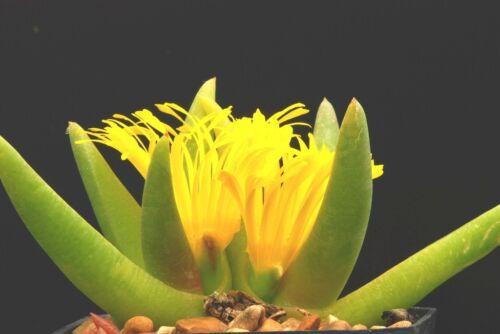 Glottiphyllum parvifolium rare living stone ice-plant exotic mesembs   20 SEEDS
