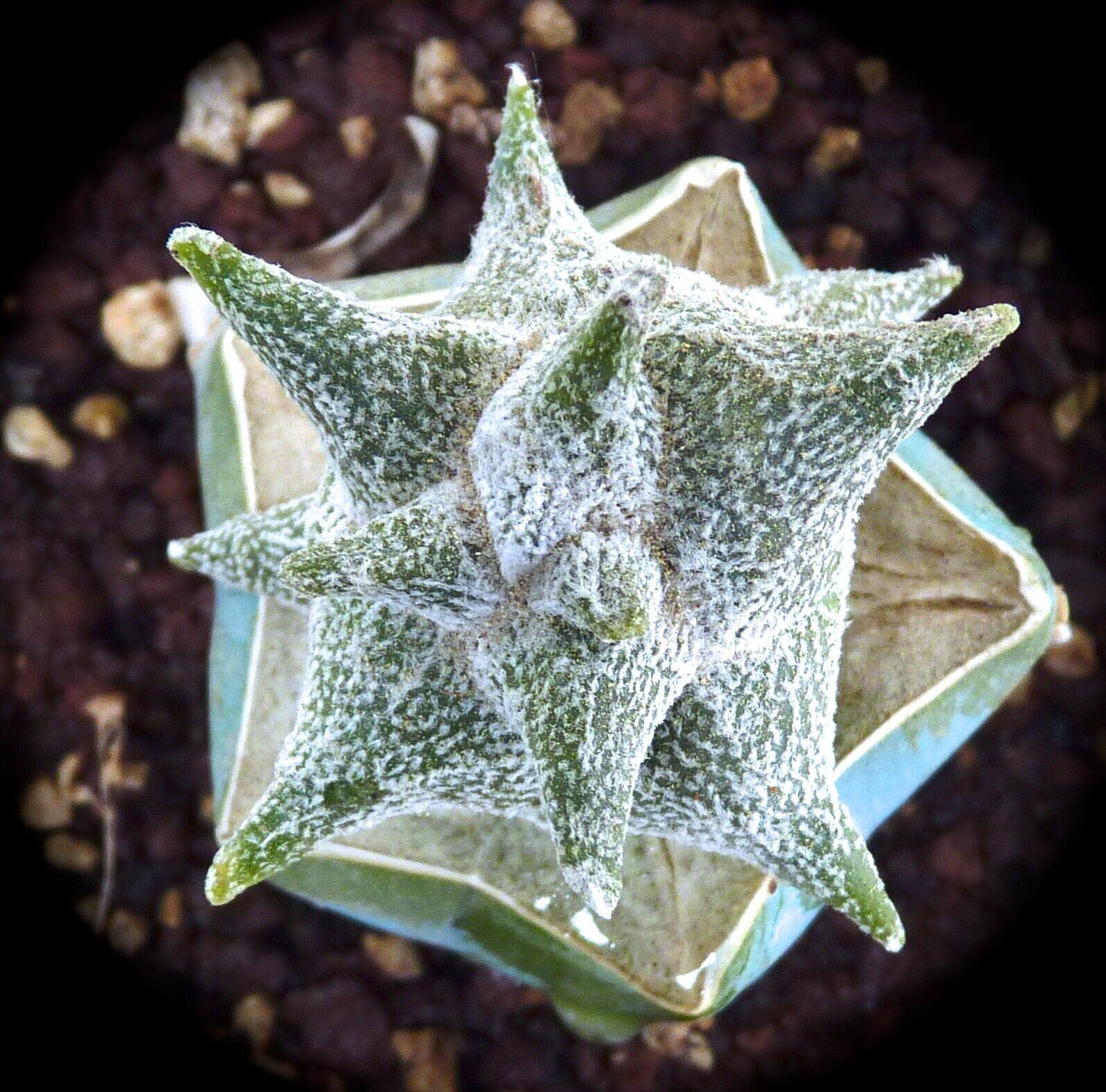 Astrophytum myriostigma cv KIKKO fat form     ex Hirobe Japan no variegated 88A