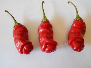 Echter-Penis-Chili-Scharf-Gesund-Lecker-amp-dekorativ-Samen