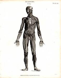 1804 DATED PRINT ANATOMY ~ MYOLOGY ~ MUSCLES MALE FIGURE BONE