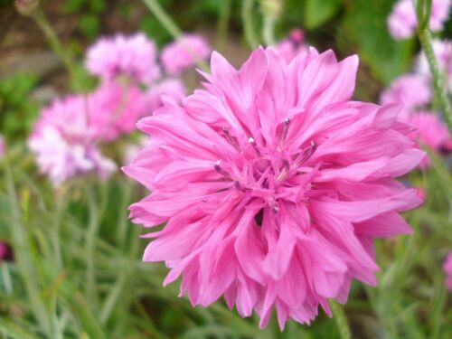 Summer Border Perennials and Annual flower seeds